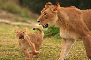 800px-Lions_&_Lion_Cubs